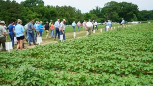 Visitors looking at Cotton research plantings